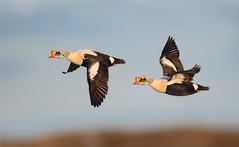 King Eider Drakes on the wing (Daniel Behm Photography) Tags: eider king kingeider drake fowl waterfowl duck arctic arcticlight tundra barrow alaska barrowalaska behm danielbehm nature flight midnightsun sweetlight