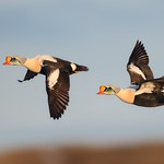 King Eider Drakes on the wing thumbnail