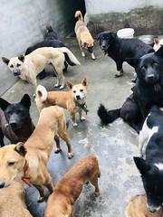 微信图片_20181018125623 (Animals Asia) Tags: animalsasia dog china catanddogwelfare rescueddogs dogshelter quiming sichuanqimingsmallanimalprotectioncenter