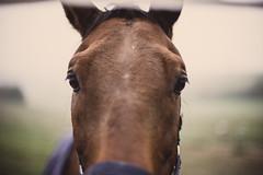 Focus (mripp) Tags: art vintage retro horse there animal outside focus concentration konmzentration aufmerksamkeit nikon z7 nikkor 50mm f12