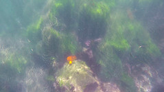 GOPR0282.00_10_03_12.Still054 (Compassionate) Tags: lajolla lajollacove lajollashores snorkel snorkeling ocean sea swimming