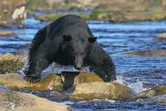 Fish Chaser (PamsWildImages) Tags: blackbear nature wildlife wildlifephotographer canada britishcolumbia vancouverisland pamswildimages naturephotographer