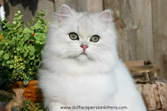 Silver Chinchilla Persian Kitten (dollfacepersiankittens.com) Tags: teacup kittens persian for sale doll face dollfacepersiankittenscattery trisha johnson beautiful cats cat pictures cute kitten catstagram catsofig