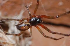 Steatoda nobilis Arachtober 28 (Procrustes2007) Tags: spider steatoda steatodanobilis noblefalsewidow arachnid arachtober nikond50 sudbury suffolk uk
