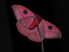 Automeris belti (Bart Coppens) Tags: automeris belti saturniidae