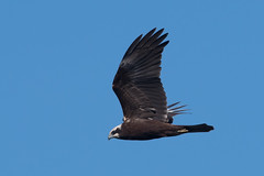 Marsh Harrier-256 (davidgardiner8) Tags: birds dungenessrspbreserve kent marshharrier raptors
