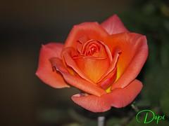Rosa (Dopior) Tags: 2007 flores flowersadminfave