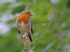 Robin (vickyouten) Tags: robin robins robinredbreast bird lymm lymmdam warrington canon canon1300d vickyouten