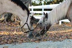 09 02 2017 Z1zz Friendship (srypstra) Tags: horses buddy cookie ponies sherirypstra