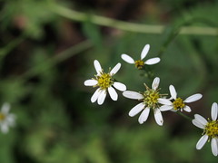 シラヤマギク (mayfly jpn) Tags: 山の花 野草 9月