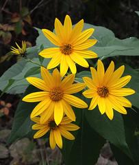 Sunny Faces (jameskirchner15) Tags: wildflower helianthustuberosus jerusalemartichoke flower sunflower asteraceae yellow alabasterbikepath ioscocounty michigan outdoors nature closeup bokeh pentax