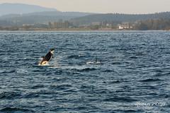 DSC_7478 (heatherphelps1) Tags: whalewatching orca whale breach orcabreach whalebreach ocean salishsea anacortes southernresident southernresidentkillerwhale islandadventures endangered mammal killerwhale washington washingtonstate pugetsound