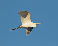 Great Egret (Egretta alba) (MagnusGustafsson) Tags: egrettaalba greategret ägretthäger fåglar fågelskådning birds birding birdwatching canoneos7dmarkii canon tamron tcx14 tamronsp150600563divcusdg2