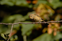 What are you doing? (microwyred) Tags: forestwoods animalsinthewild willowwarbler nature birds beautyinnature oneanimal animal small birdwatching wildlife branch tree perching forest bird greencolor closeup outdoors beak twig springtime pearched