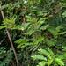 2012-07-25 TEC-1805 cf. Cojoba graciliflora - E.P. Mallory