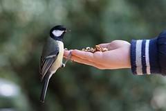 2018.10.06-10.50.56 (r.umlauft) Tags: kohlmeise parus major meisen paridae sperlingsvögel vogel