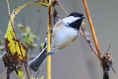 black-capped chickadee eating giant ragweed seeds at Lake Meyer Park IA 653A2967 (lreis_naturalist) Tags: blackcapped chickadee eating giant ragweed seeds lake meyer park winneshiek county iowa larry reis