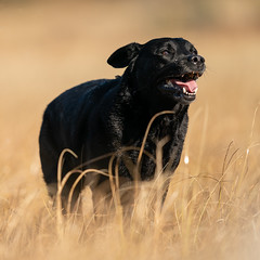 A9_02110 (msmedsru) Tags: labrador flat coated retriever dogs autumn norway