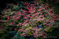 RGB Mountainside (jenelle.melchior) Tags: rgb leaves tree nature red green blue fall autumn forest rainier abstract colorpop color washington