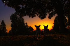 Silhouette... Those ears!! I know instantly who is who!! 😊😍 (Kerriemeister) Tags: maxandpaddy dogs brothers sunset goldenhour jackrussellterrier walkies walk silouhette silhouettes nikond5300