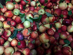 Red Apples 4 (Lux Llama Productions) Tags: barn apple picking fall natick framingham lookout farms family couple 2018 apples many plenty lot hay leaf leaves crate box peach pear plant plants maple trees tree grass grape grapes bench orange picnic red