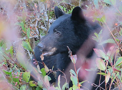 Black Bear 02 (Shelley Penner) Tags: bear black mammal ursus portrait vancouverisland