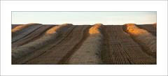 Summer Harvest (Steve-T201) Tags: southwelltrail summer crops harvest eveninglight