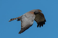 Spotted Harrier (Jeff_Warner) Tags: nikon200500f56 nikond500 birdsofpray birdsinflight raptor spottedharrier nature