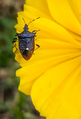 Stink Bug on Yellow Flower #2 (FotoGrazio) Tags: bokeh yellowflower color lovely nature flower selectivefocus fotograzio wildflower insect botany photoeffect flowerphotography beautiful flowers waynestevengrazio mothernature macro wildflowers waynegrazio stinkbug bug botanical closeup waynesgrazio macrophotography yellow photomanipulation naturephotography