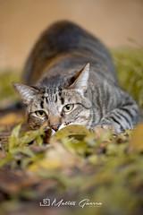 cAT-sHIMA (Matias Guerra - djtora) Tags: d750 micronikon105mmvr28gestaciondetren gato