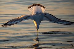 _OLY0043 (dadudawien) Tags: ostsee vögel penf