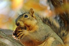 Squirrel, Morton Arboretum. 436 (EOS) (Mega-Magpie) Tags: canon eos 60d nature wildlife outdoors squirrel tree nut hungry the morton arboretum lisle dupage il illinois usa america