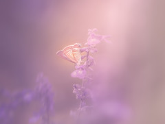 under the purple light (Tomo M) Tags: butterfly flower purple light nature outdoor bokeh blur soft dreamy pastel