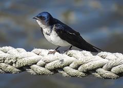 Little world (carlos_ar2000) Tags: swallow golondrina ave pajaro bird naturaleza nature animal soga rope dof buenosaires argentina
