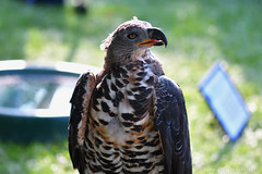 Crowned Hawk-Eagle (Bri_J) Tags: chatsworthcountryfair2018 chatsworthhouse edensor derbyshire uk chatsworth countryfair nikon d7500 crownedhawkeagle stephanoaetuscoronatus bird birdofprey