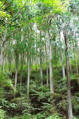 林 (Soem Yoshida) Tags: forest trees green stems woods