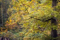 Autumn in Essen | Ruhr | Germany (*Photofreaks*) Tags: adengs wwwphotofreakseu woods forests wald wälder essen ruhr ruhrgebiet deutschland germany nordrheinwestfalen northrhinewestphalia nrw bokeh nachtigallental buche beech autumn herbst fall