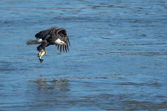 They're back... (rob.wallace) Tags: fall2018conowingodamdarlingtonmdbaldeagles darlington md susquehanna river bald eagle