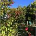 Fuchsia Fence