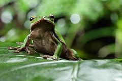 2J4A8057 (ajstone2548) Tags: 12月 樹蛙科 兩棲類 翡翠樹蛙