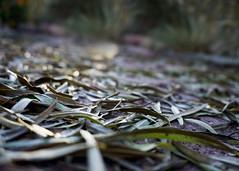 305/365 Fallen Leaves (Helen Orozco) Tags: 305365 2018365 bokeh morning path leaves fallen lowangle raw