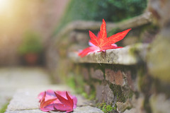 The Fallen... (KissThePixel) Tags: leaf leaves redleaf redleaves nikon nikond750 50mm f14 14 primelens aperture step bricks perspective pov depthoffield dofalicious dof bokeh beautiful beauty bokehlicious beautifulday autumn autumncolours autumnlight macro closeup maple