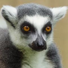 Tg SR             nah am Katta                180919 (Eddy L.) Tags: tiergartenstraubing straubing zoo katta lemurcatta ringtailedlemur lemur portrait square closeup sonyalpha minoltaafhs28300mmg teamsony sonyphotographing eddyl2018