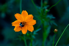 Buzzing Bee on an Orange Flower (John Brighenti) Tags: photography photos outdoors evening twinbrook rockville maryland md commute sony alpha a7ii a7 ilce7m2 ilce sel70300g 70300mm glens plants leaves green bokeh flower flowers petals bee insect buzz honey worker orange