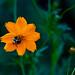 Buzzing Bee on an Orange Flower