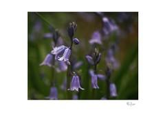 Bluebell (radspix) Tags: sony ilcea7r 50mm steinheilmunchen quinon f2 bluebell