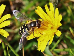 Hoverfly (Hugo von Schreck) Tags: hugovonschreck makro macro insekt insect hoverfly schwebfliege canoneos5dsr