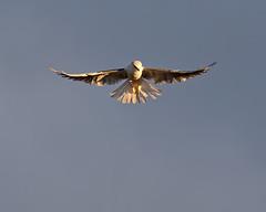 Kiting Kite (lennycarl08) Tags: whitetailedkite raptor birdofprey birds eastbay alhambravalley