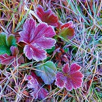 Frosty Leaves - Alaska thumbnail