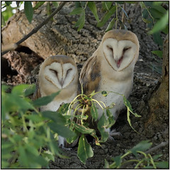 Barn Owl (image 2 of 3) (Full Moon Images) Tags: wildlife nature cambridgeshire fens bird birdofprey barn owl